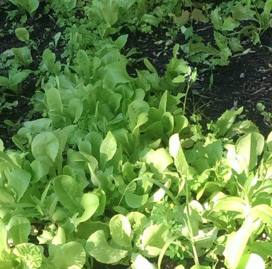 Baby lettuce greens fresh from the garden